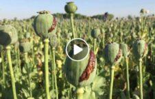 ویدیو کشت کوکنار هلمند 226x145 - ویدیو/ کشت گسترده کوکنار در ولایت هلمند