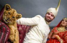 سوءاستفاده از حیوانات کمیاب در مراسم های ازدواج پاکستانی ها