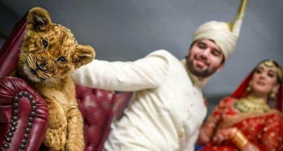 چوچه شیر پاکستان 550x295 - سوءاستفاده از حیوانات کمیاب در مراسم های ازدواج پاکستانی ها