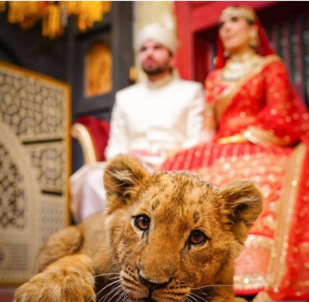چوچه شیر 1024x1001 - سوءاستفاده از حیوانات کمیاب در مراسم های ازدواج پاکستانی ها