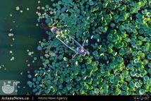 جمع آوری گل آبی – چین