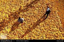 خشک کردن جواری – چین
